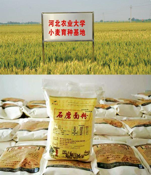 河北农大小麦育种基地和石磨面粉