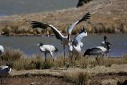 """青海黑颈鹤的""""保镖"""":人与野生动物的信任在重建"""