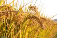 35年,守望那片稻田——记黑龙江八一农垦大学水稻专家郑桂萍