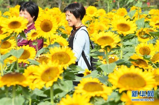 (環境)(1)葵花盛開逐秋陽