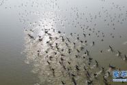 安徽:冬日濕地 候鳥紛至