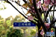 """""""落櫻不掃""""道路亮相上海"""