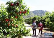 北京:迎來櫻桃采摘季