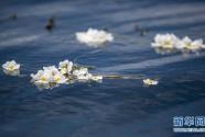 洱海又见海菜花
