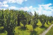 既让荒山披绿装,又让农户增收入,长兴村—— 一颗小榛子 两种好滋味